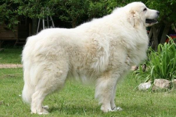 Cane da montagna dei Pirenei cane