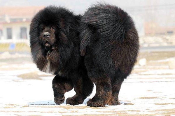 Mastino tibetano cane