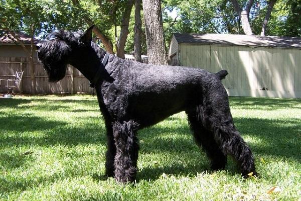 Schnauzer gigante cane