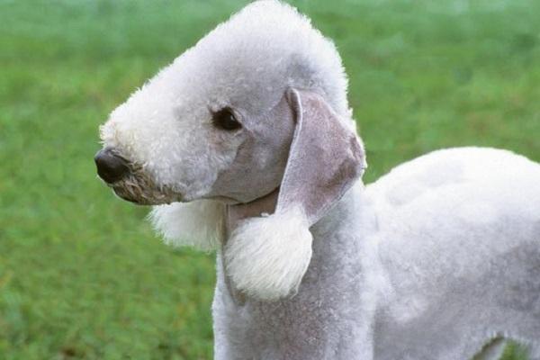 cane come agnello