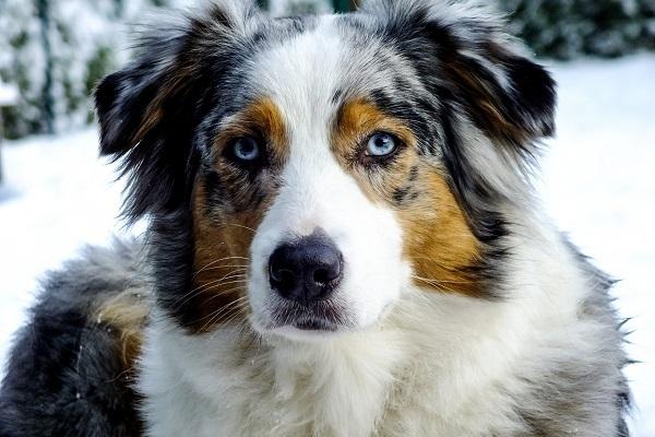 pastore australiano cane