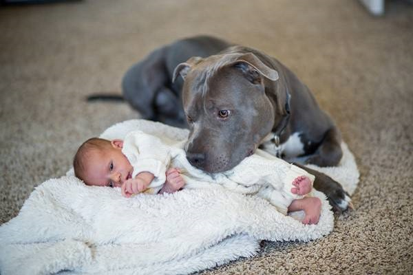 cane pit bull amorevole