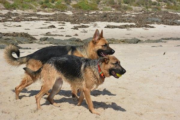 due cani pastori tedeschi