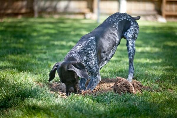 cane che scava