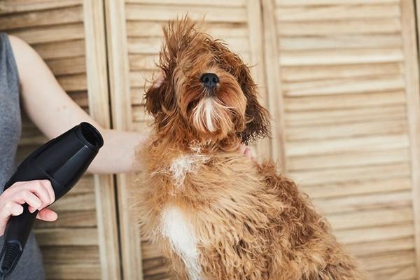 asciugare il pelo del cane