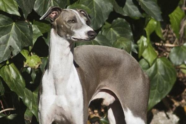 cane piccolo levriero italiano