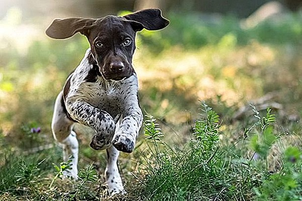 Puntatore tedesco a pelo corto cane
