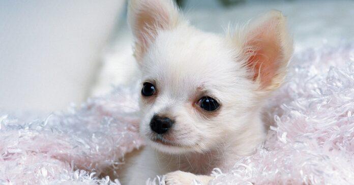 chihuahua cane sul letto