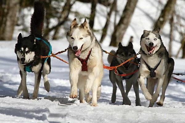 husky siberiani cani