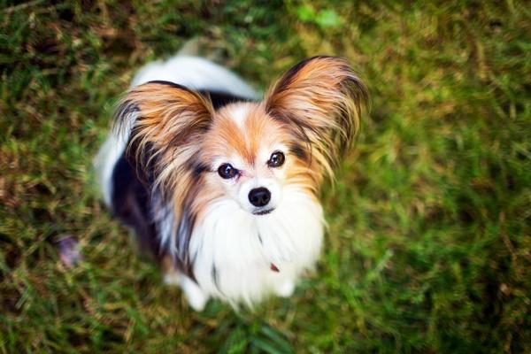 I cani più piccoli che esistono: ecco le razze più piccine