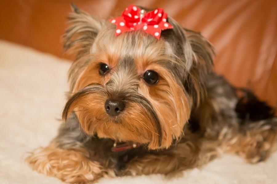 cucciolo con fiocco