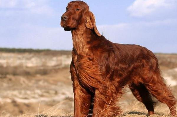 cane setter irlandese