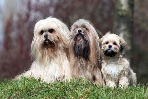 Lhasa apso cani