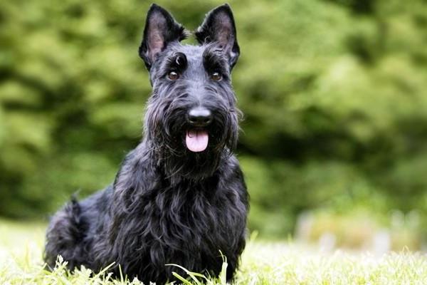 Scottish terrier cane