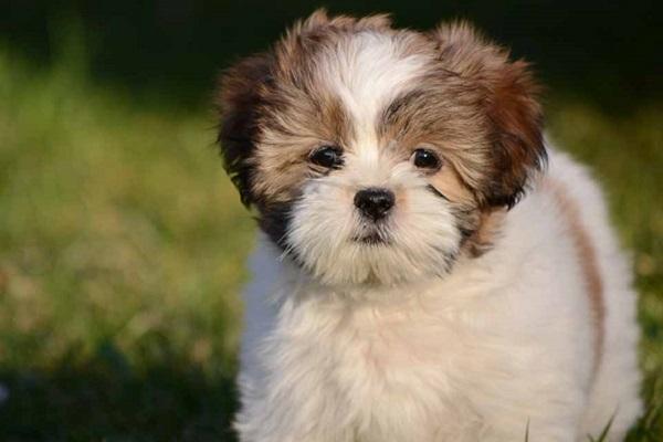 Lhasa apso cane