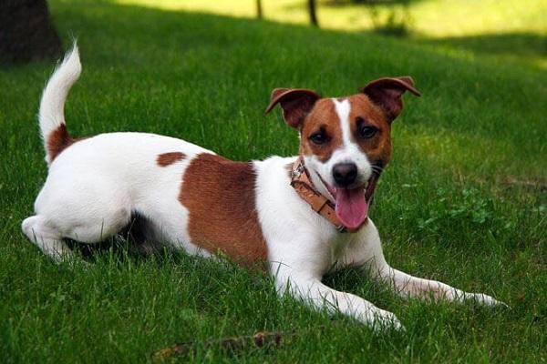 cane jack russel terrier