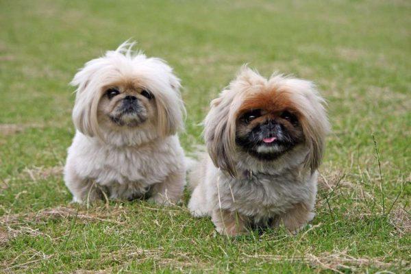 Razze di cani vicini ai lupi: quali sono?