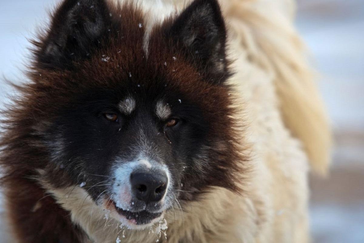 Canadian Eskimo Dog cane