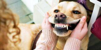 avulsione del dente del cane