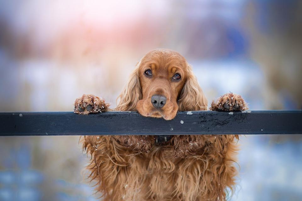 Razze di cani con orecchie delicate: quali hanno bisogno di cure settimanali