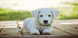 cane cucciolo osserva