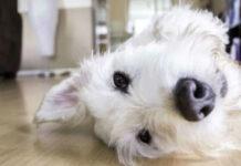 cane coricato a terra