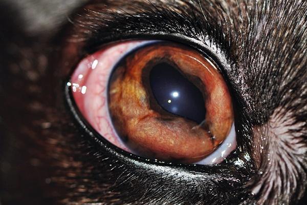 infezione agli occhi del cane