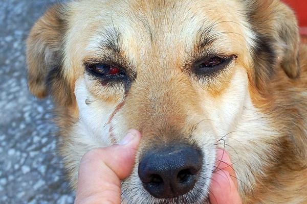 lacrimazione del cane