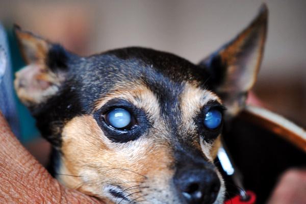 cane con la cataratta