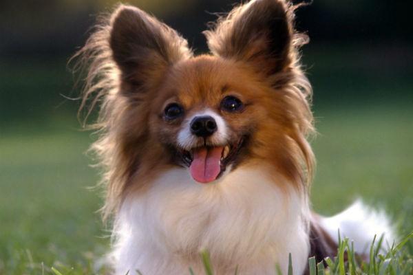 7 razze di cani con le orecchie lunghe, tutte da scoprire