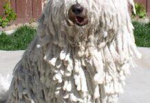 cani con pelo lungo
