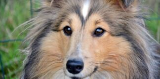 cane di razza collie