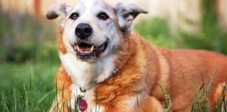 cane con il muso bianco