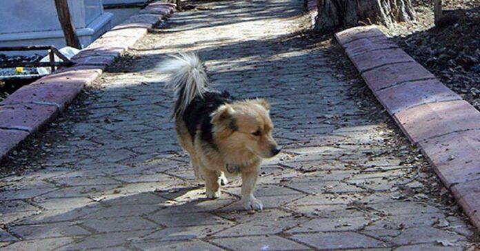 cane anziano che passeggia