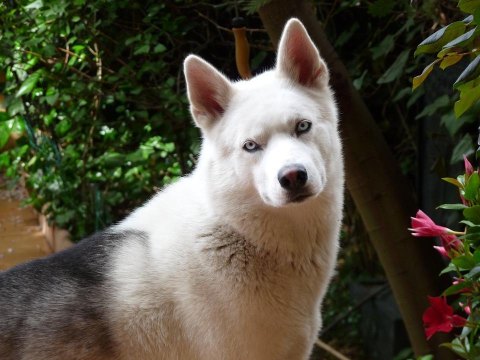 """Razze di cani loquaci: quali sono quelle che """"parlano"""" di più?"""