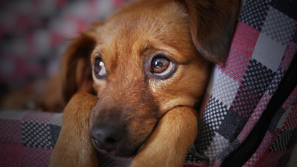 Perché il cane anziano ha paura del cucciolo?