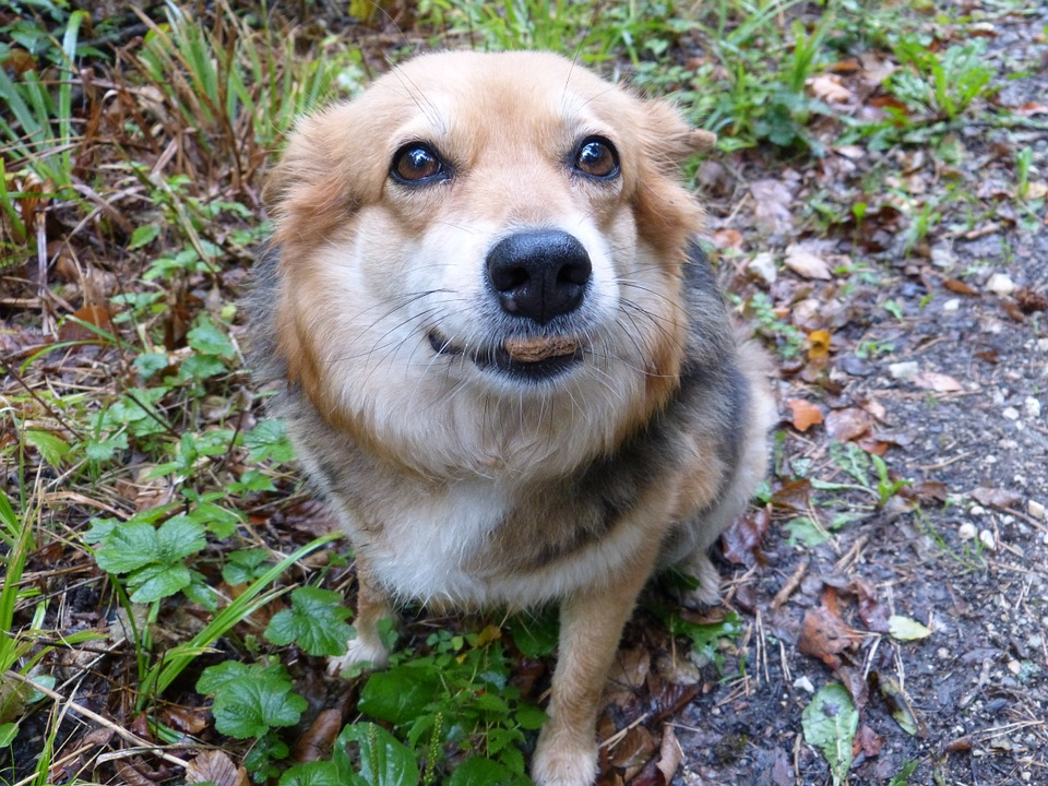 I cani possono mangiare l'Asiago?