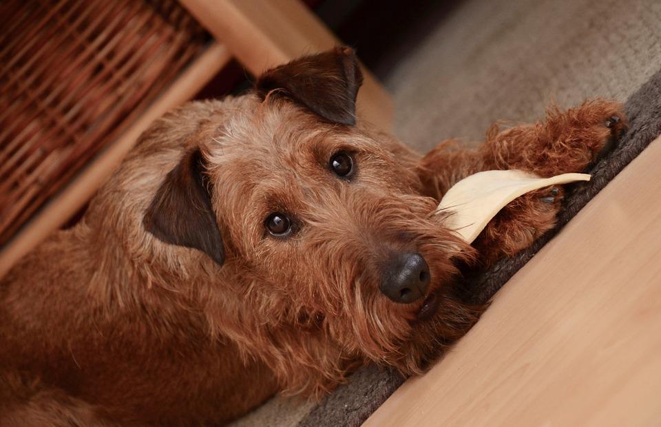 I cani possono mangiare il parmigiano?