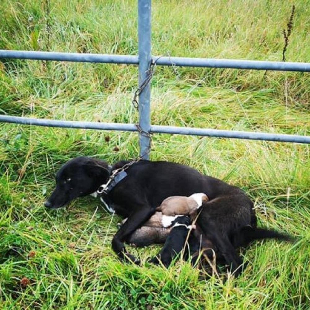 Mamma cane è costretta ad allattare i propri cuccioli da incatenata