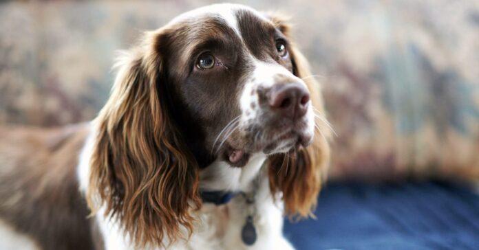 cane con le orecchie lunghe
