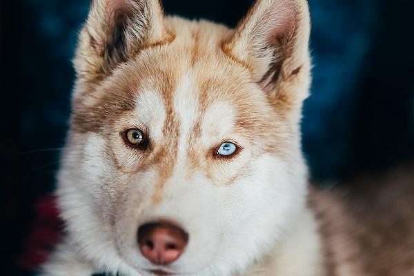 husky cane