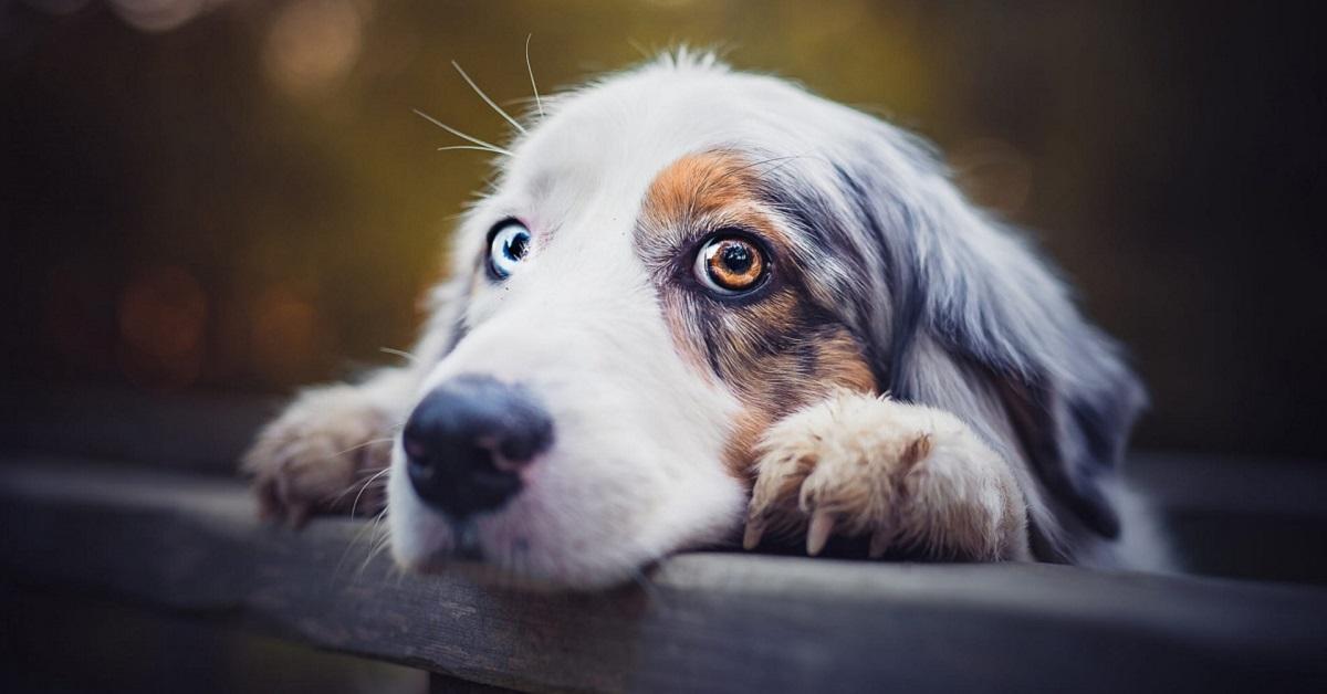 cane con colore occhi differente