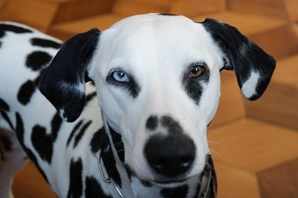 cane dalmata con eterocromia