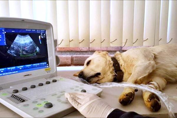 Feocromocitoma nel cane: cosa sapere sul cancro della ghiandola surrenale