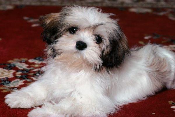 Razze di cani appiccicosi: quelle che non si staccherebbero mai da te