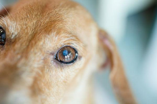 com'è fatto l'occhio del cane