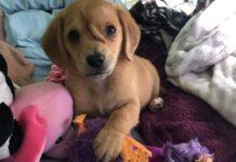 il-cucciolo-viene-salvato-dalla-strada-ma-ha-una-specie-di-corno-sulla-fronte