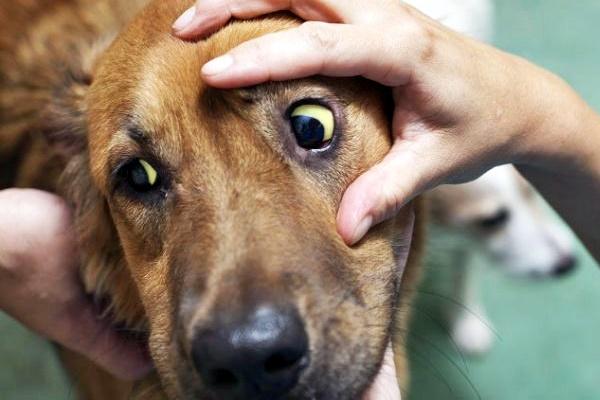 cane con gli occhi gialli
