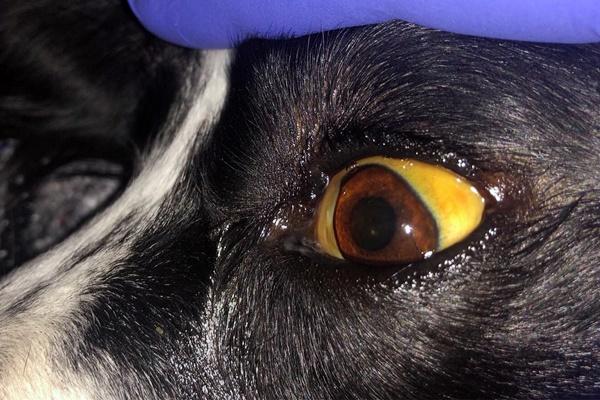 occhio giallo nel cane