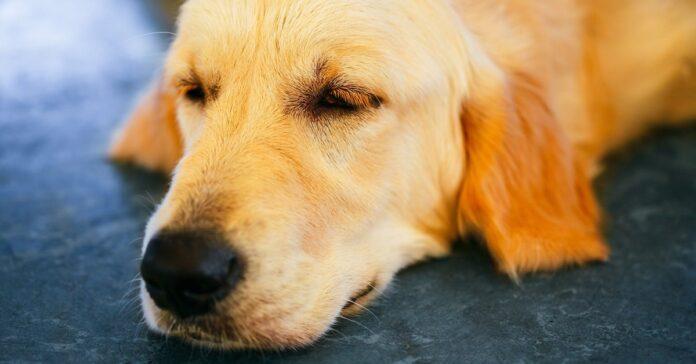 campylobatteriosi nel cane